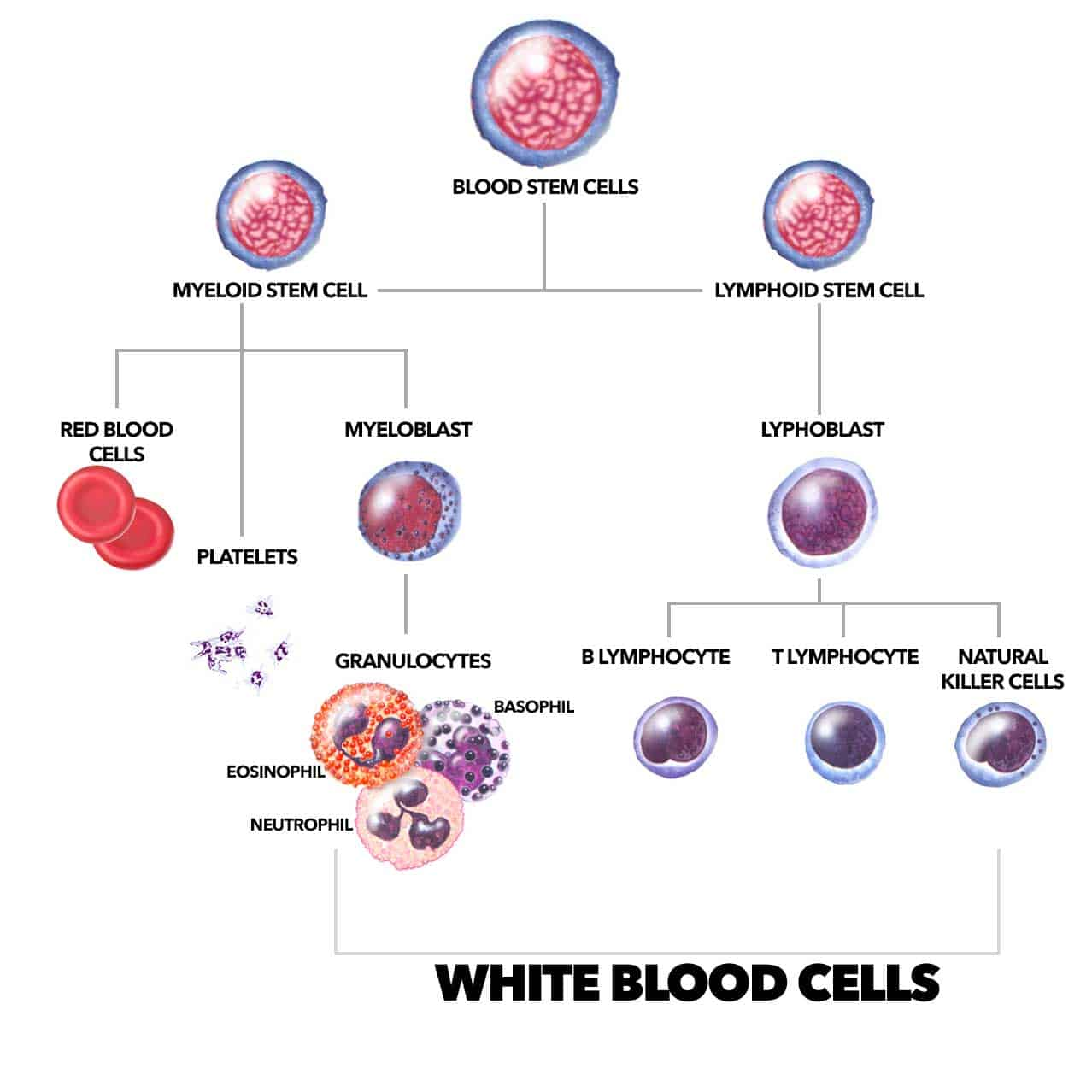 white blood cells cancer dogs singapore nk cells t cell immunotherapy dr jean paul ly